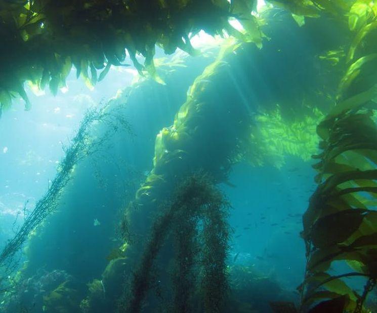 Морская капуста в диетическом питании